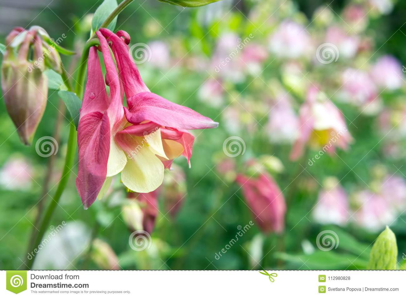 Flower of red-yellow Aquilegia Aquilegia canadensis growing on a bed in the garden.