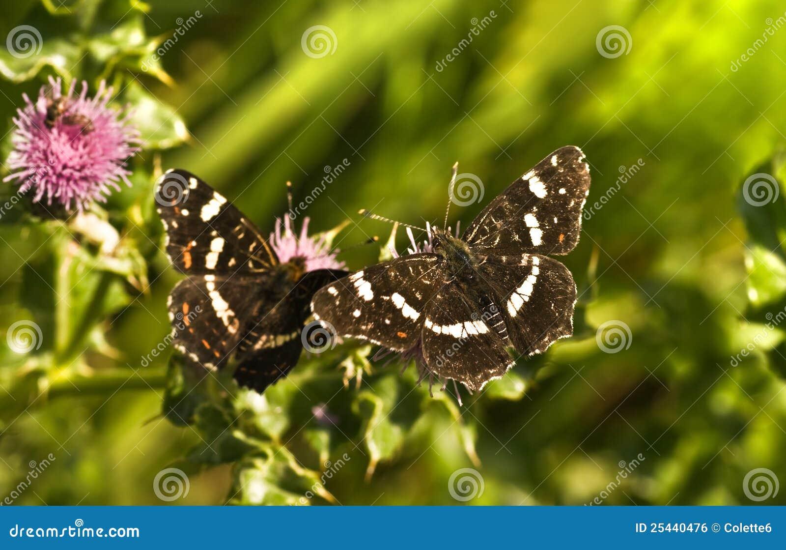 Summer Map butterflies or Araschnia levana