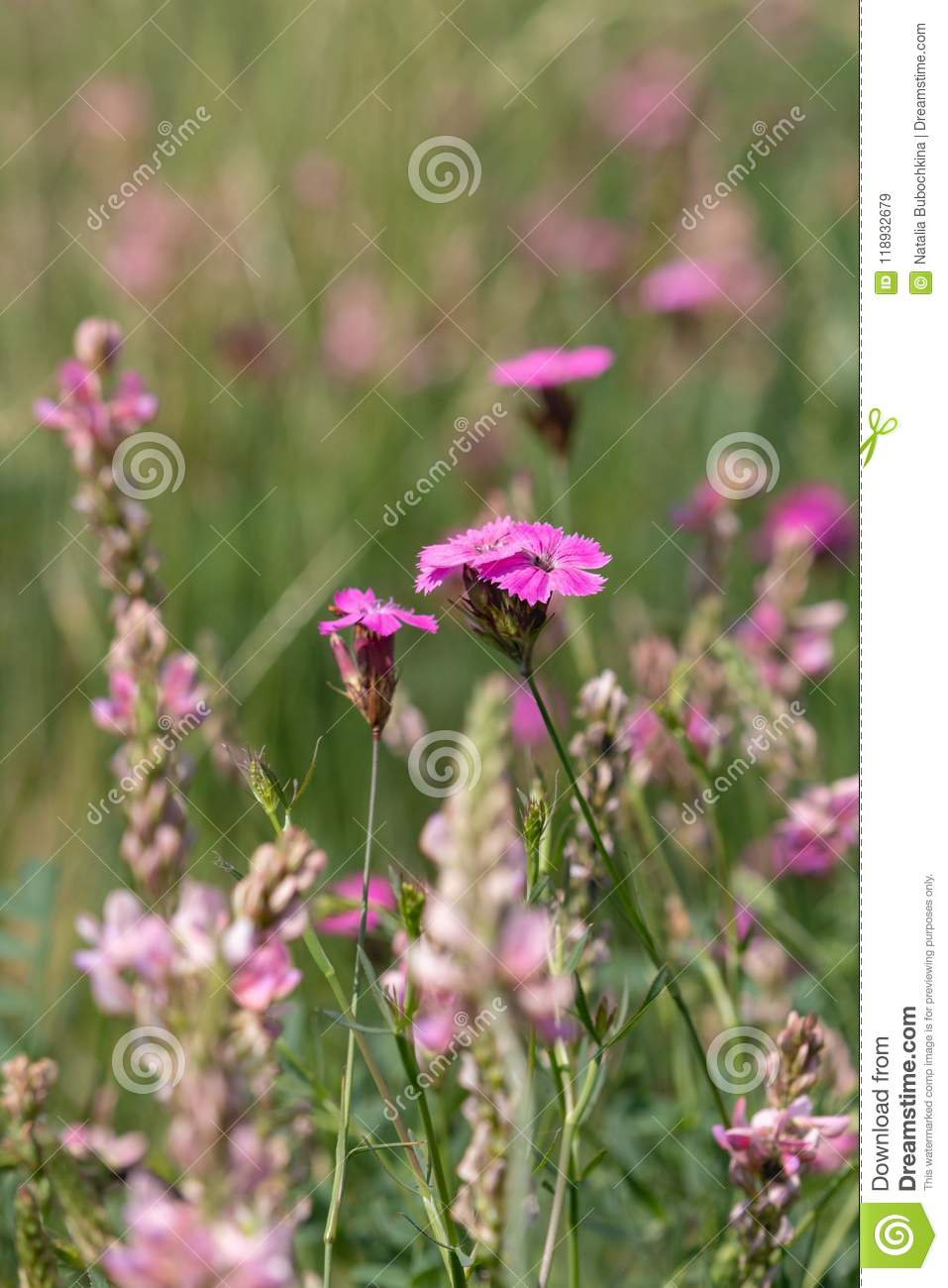 Summer Meadow Pink Flowers On Green Blurred Background Stock Image