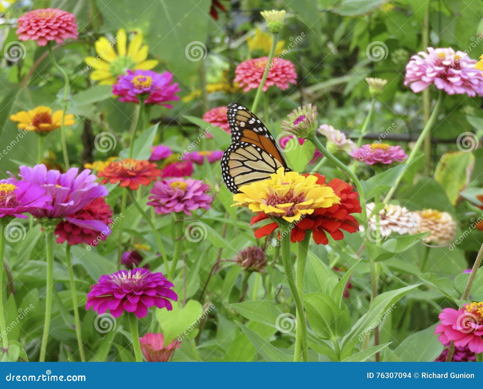 Summer Monarch Butterfly in the Zinnia Garden