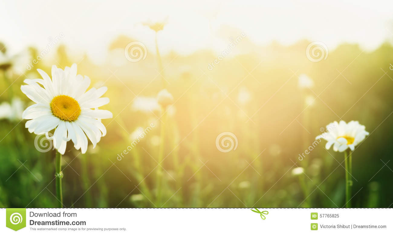 Nature Images 2mb: Summer Nature Background With Daises And Sunlight, Banner