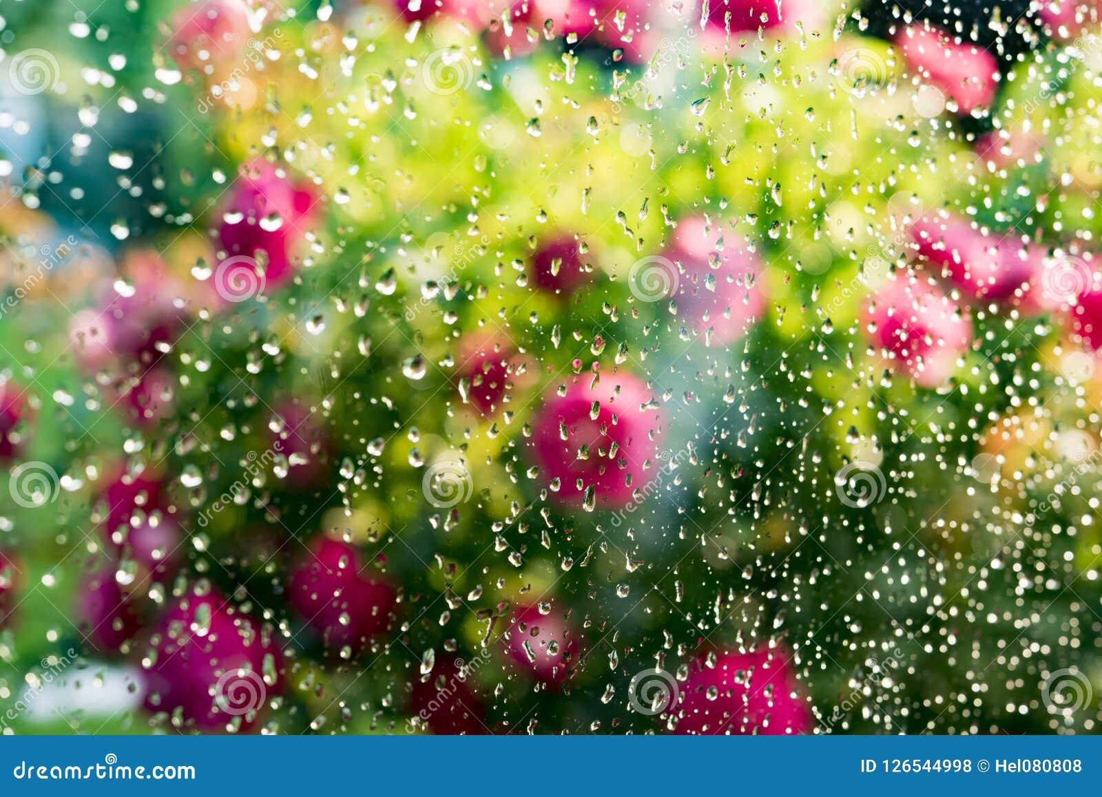 Summer rain on window. Blurred flowering rose bush behind glass of window with raindrops