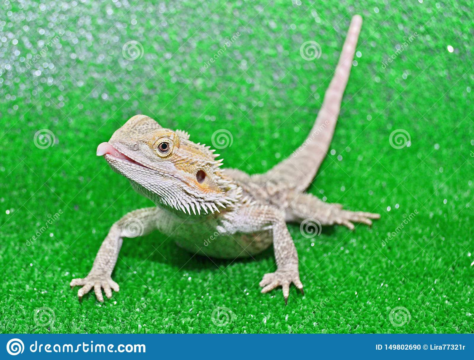 Bearded agama on a green background