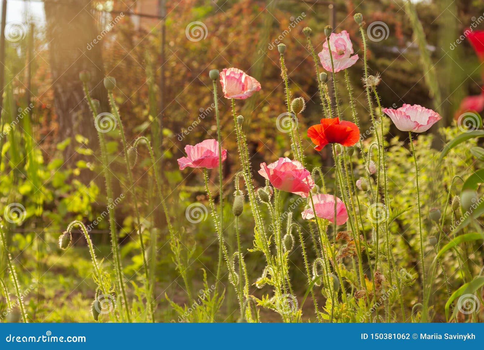 Summer scene with bright red poppy flowers field, golden sunshine. Summer wallpaper background
