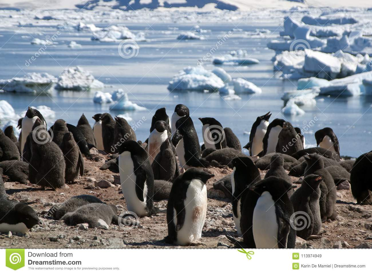 Adelie Penguin Colony With Ice Flow In Background Stock