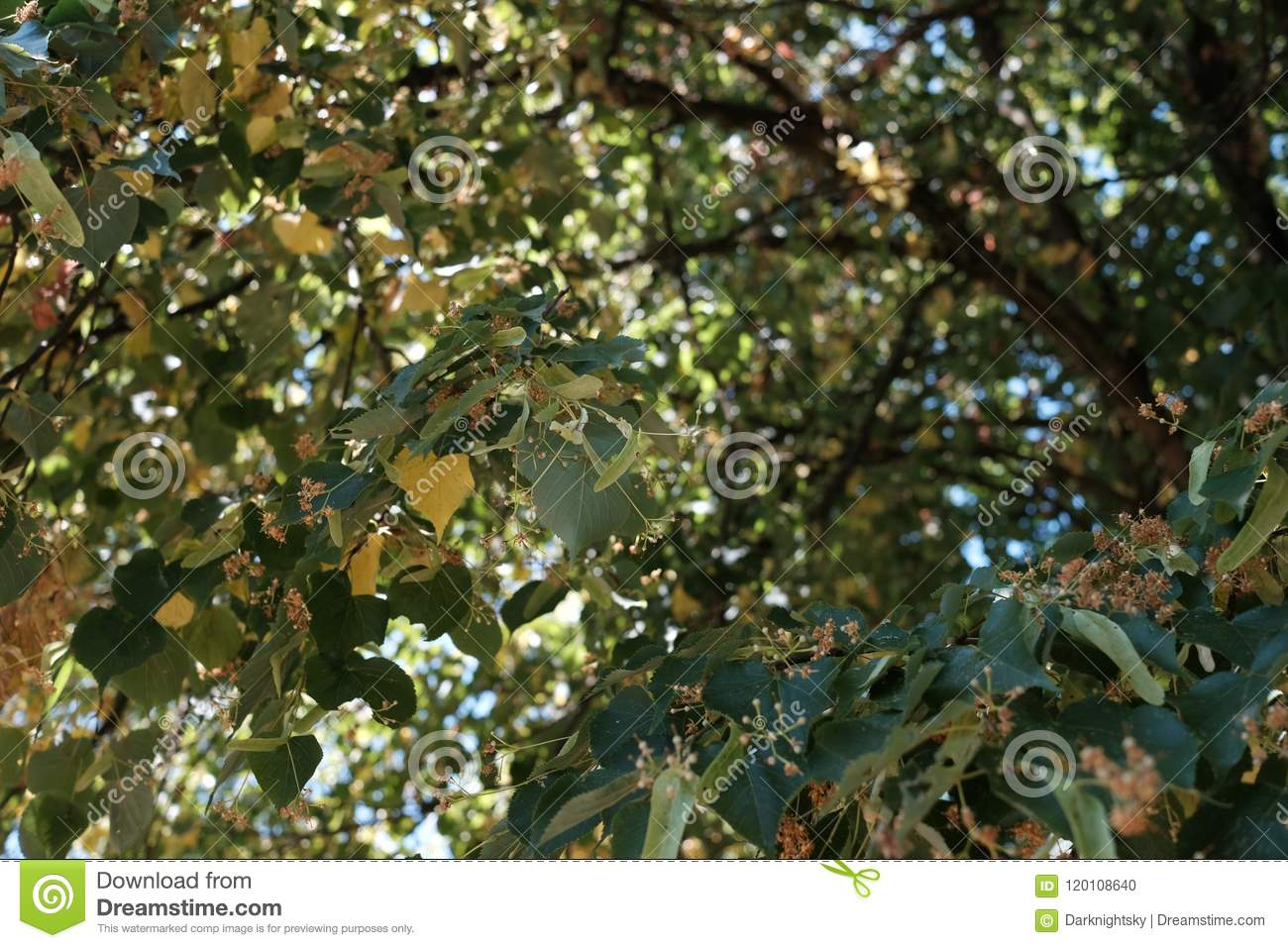 Summer Sun At A Tilia Tree