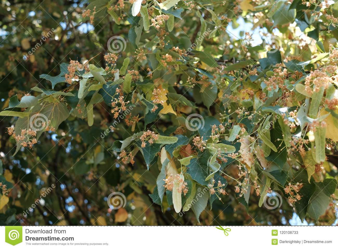 Summer Season At A Garden Showing Detail Of Tilia Cordata Tree Lime