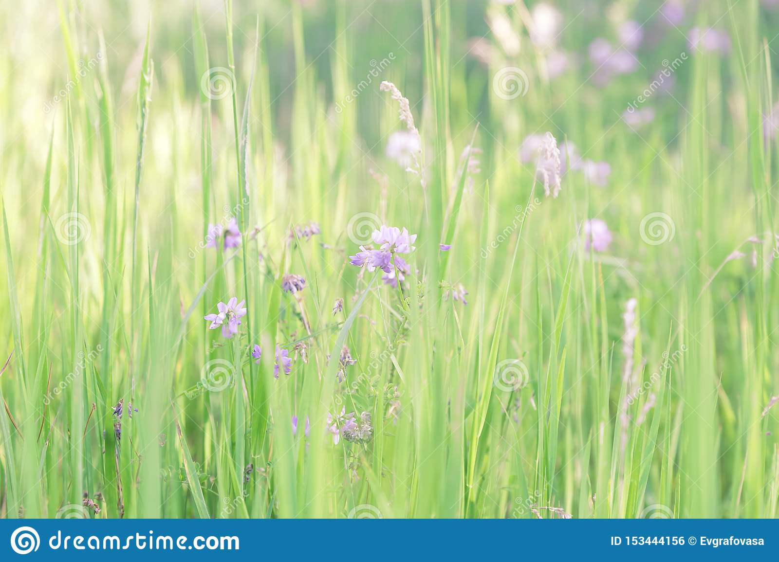 Summer sunny botanical natural floral background with green grass and blooming clover in a meadow