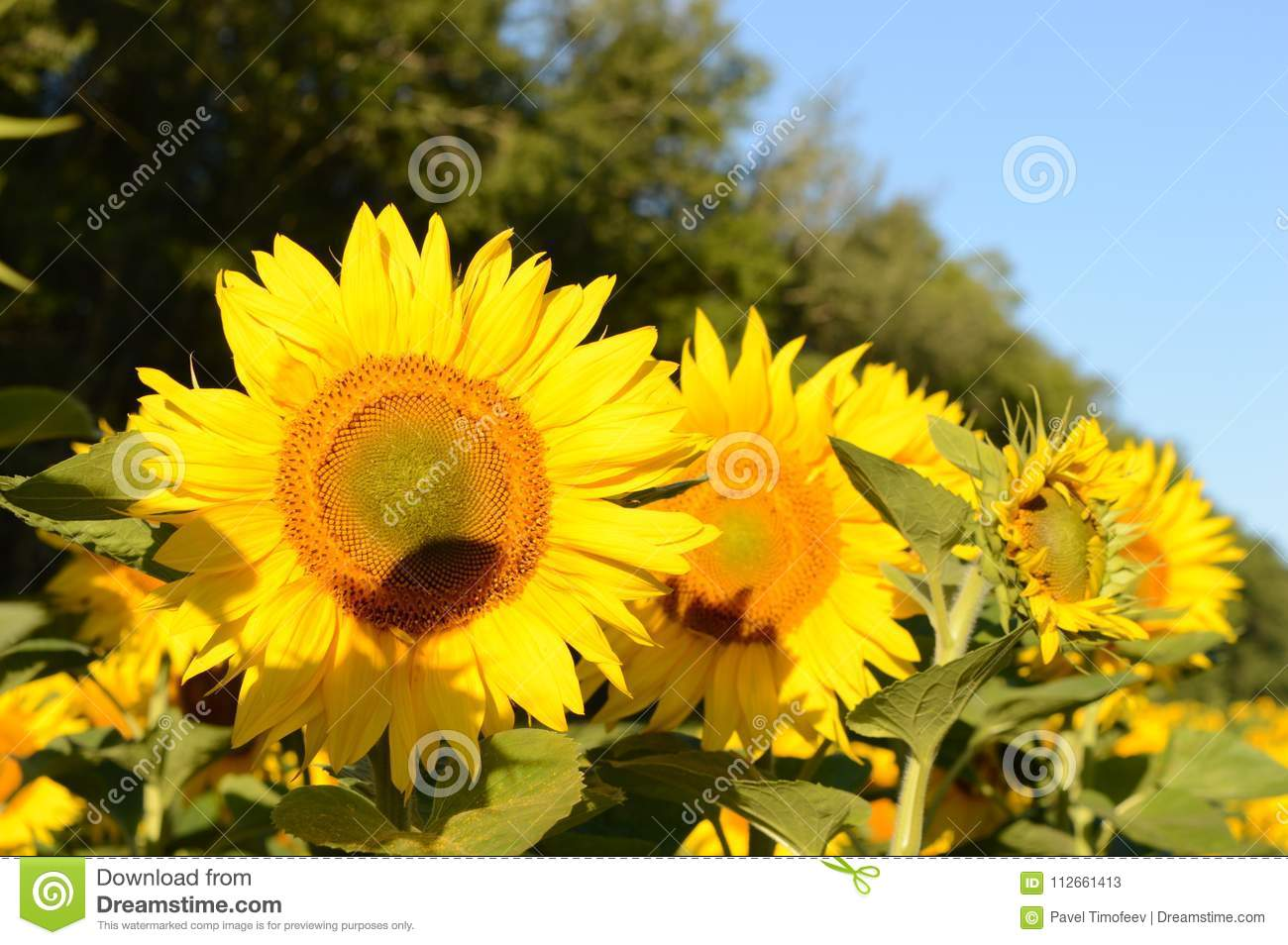 Summer sunny day sun field grow large beautiful sunflowers on a sunny summer day in the field grow large beautiful sunflowers near the forest izmirmasajfo