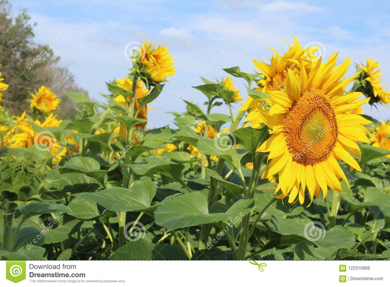 A Large Field Of Flowers Of Sunflowers In The Summer In Russia