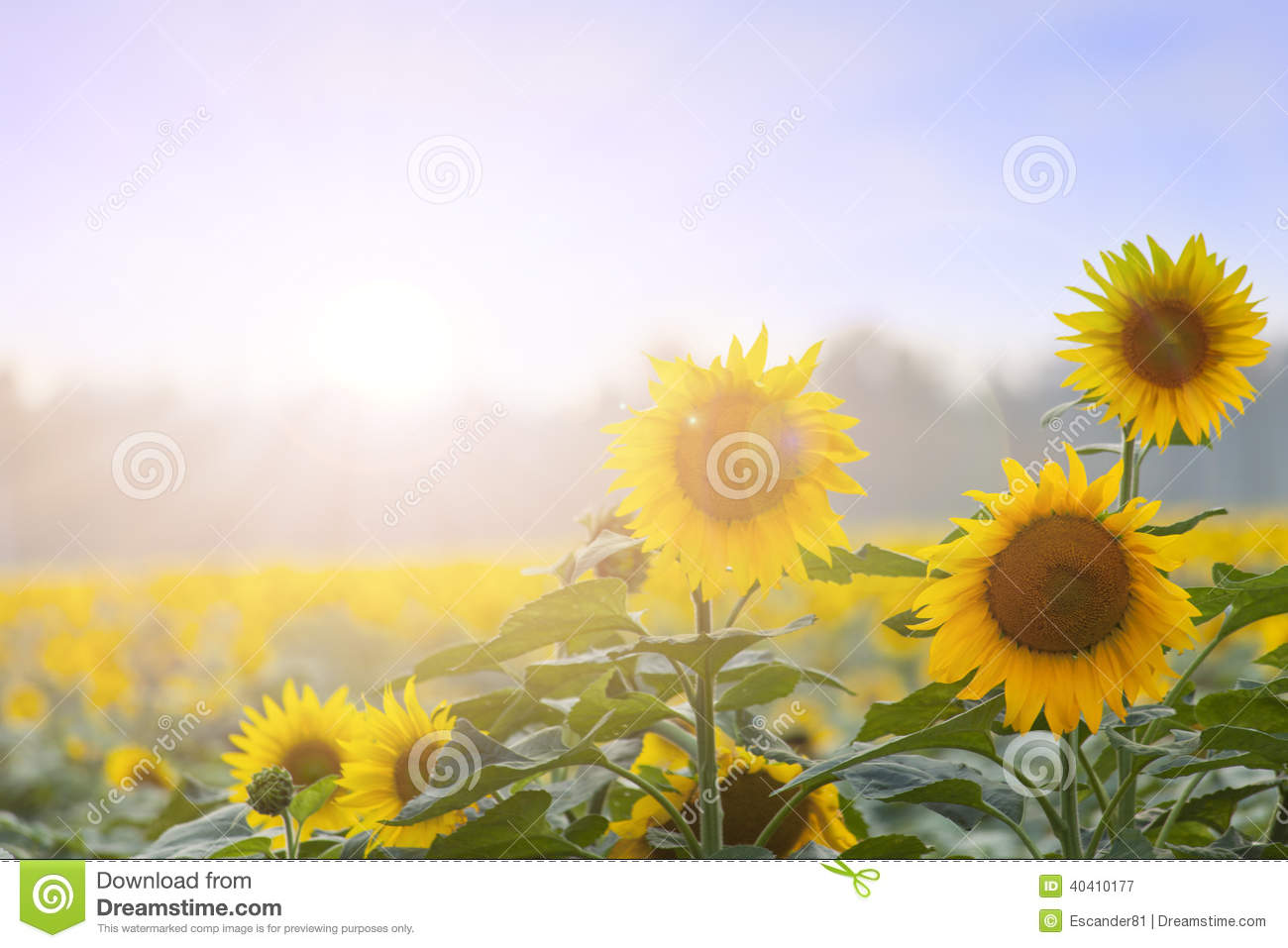 Summer time: Three sunflowers at dawn