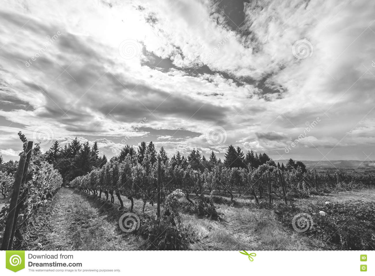Grapes growing in a vineyard on a partly cloudy summer day black and white photo