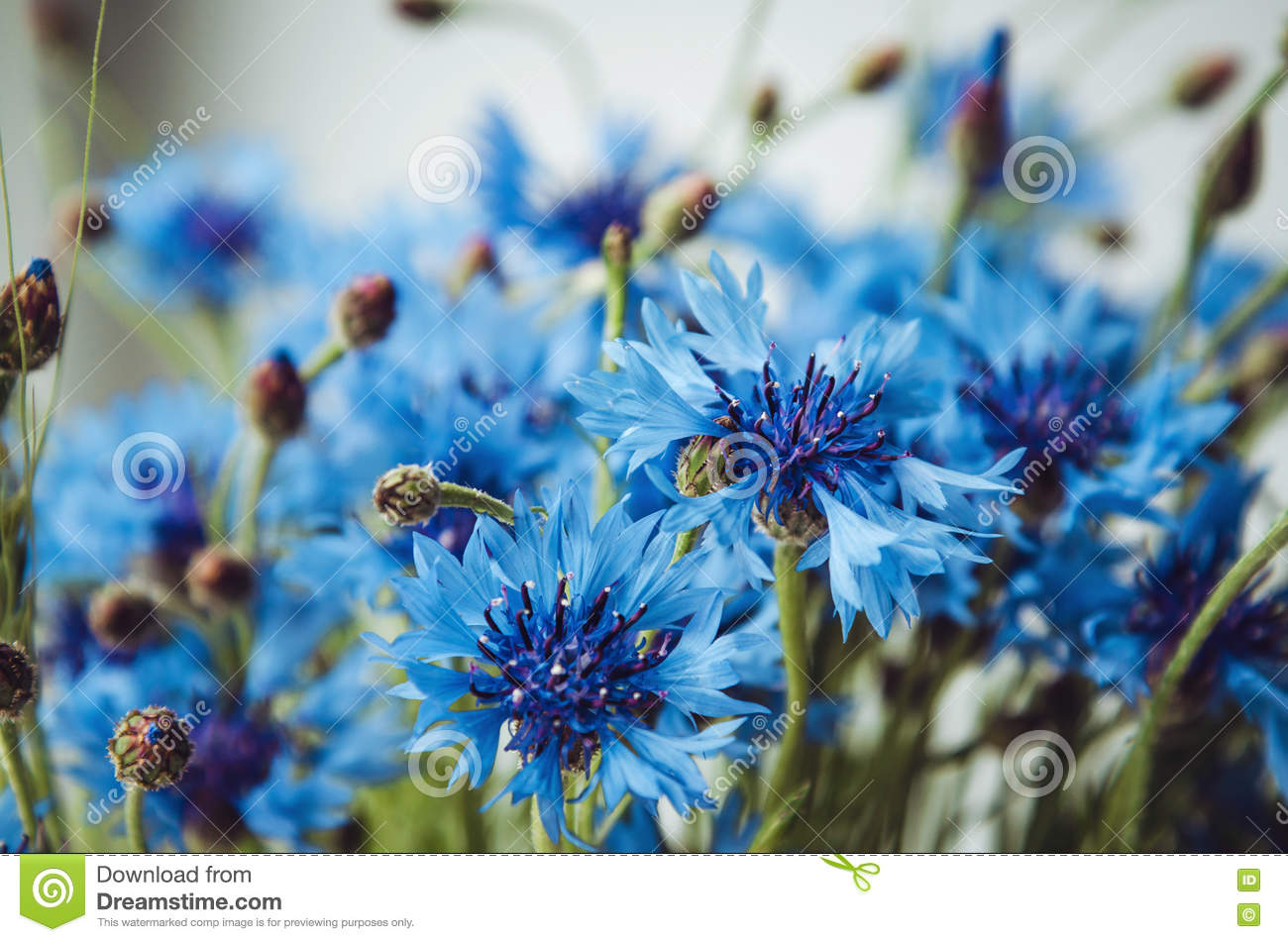 Summer wallpaper of blue cornflower, green grass on a white background, rural field. Blossom floral abstract bokeh and