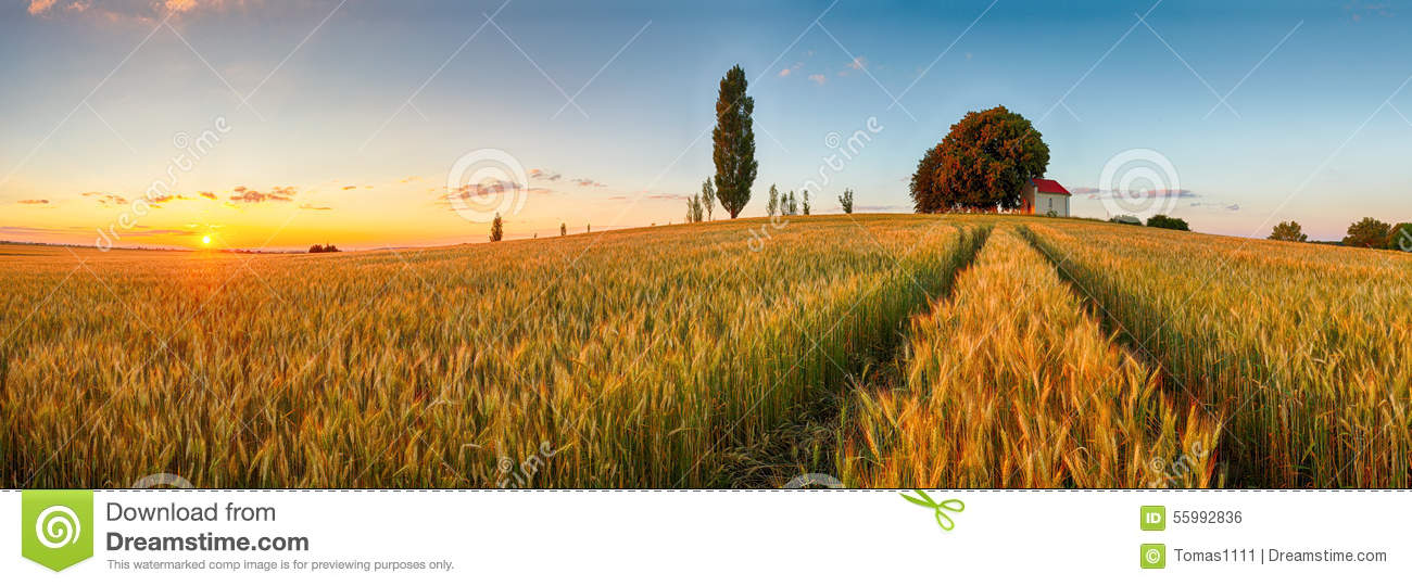 Summer wheat field panorama countryside, Agriculture