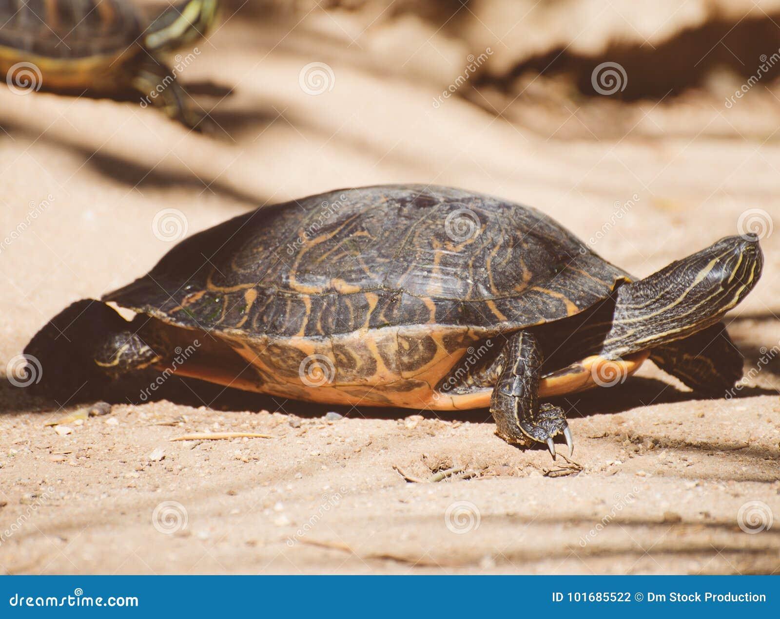 Sumpsköldpadda för damm slider