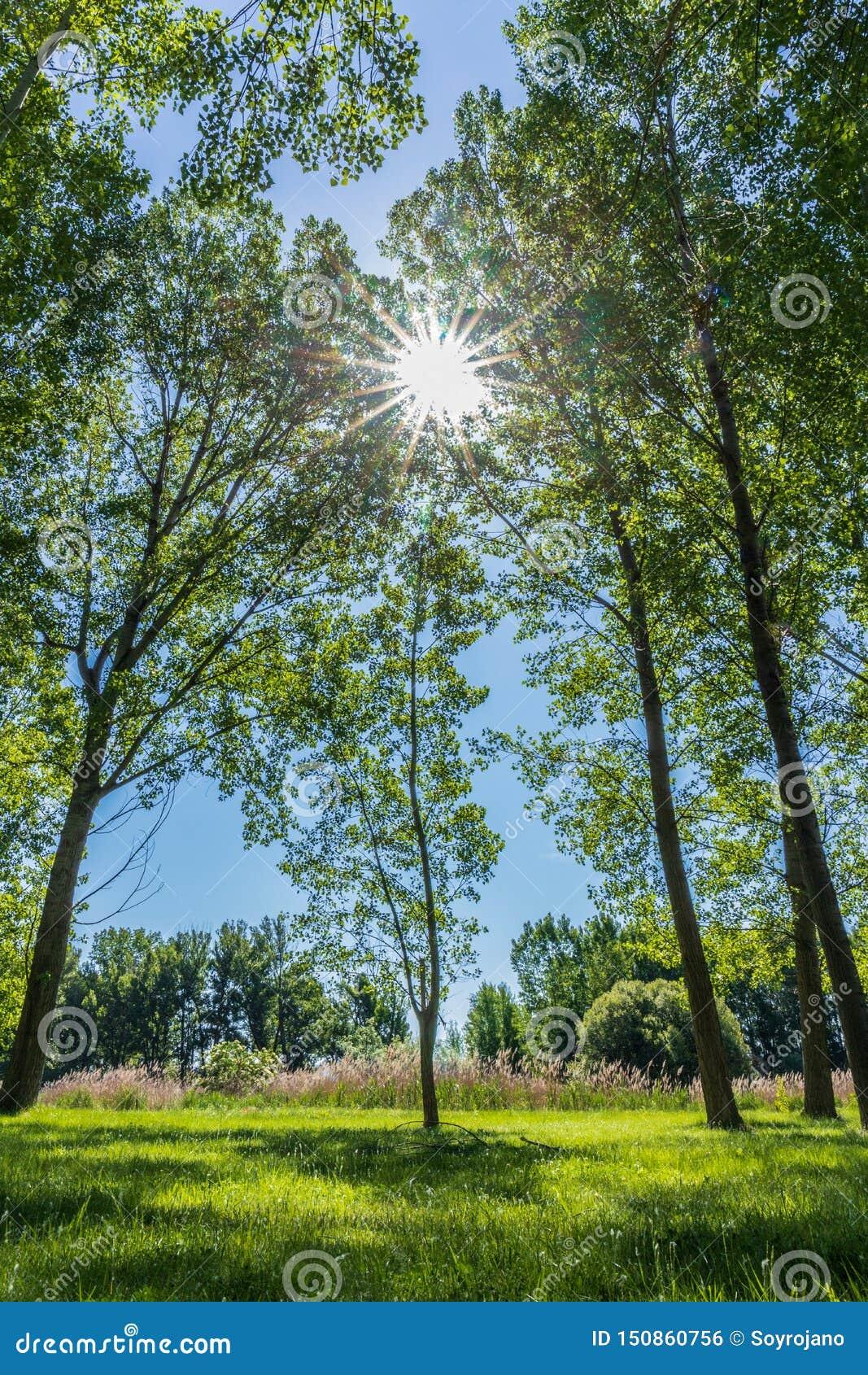 Sun au milieu par les arbres