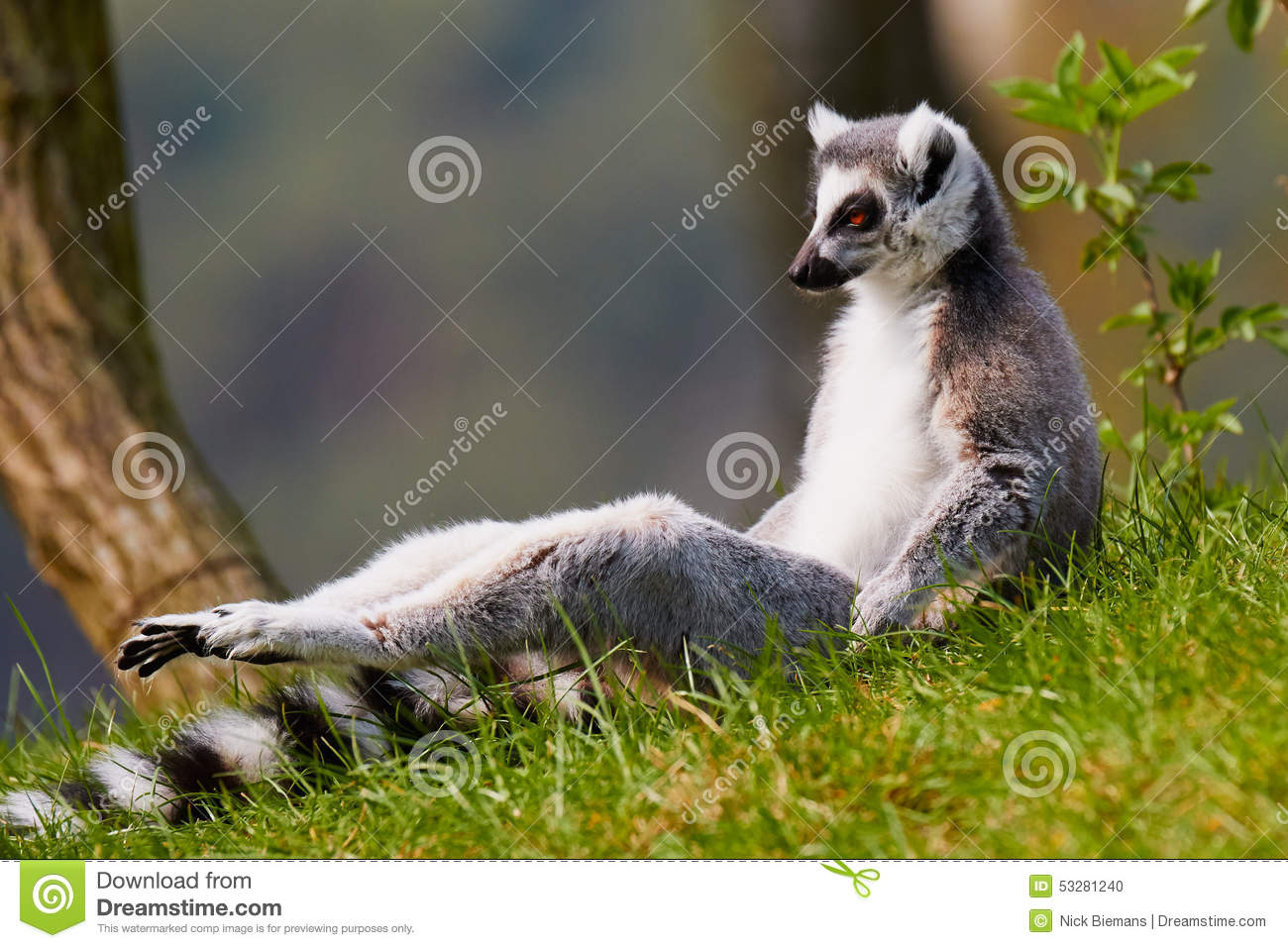 Sun Bathing Ring-tailed Lemur Stock Photo - Image of forest, grass ...