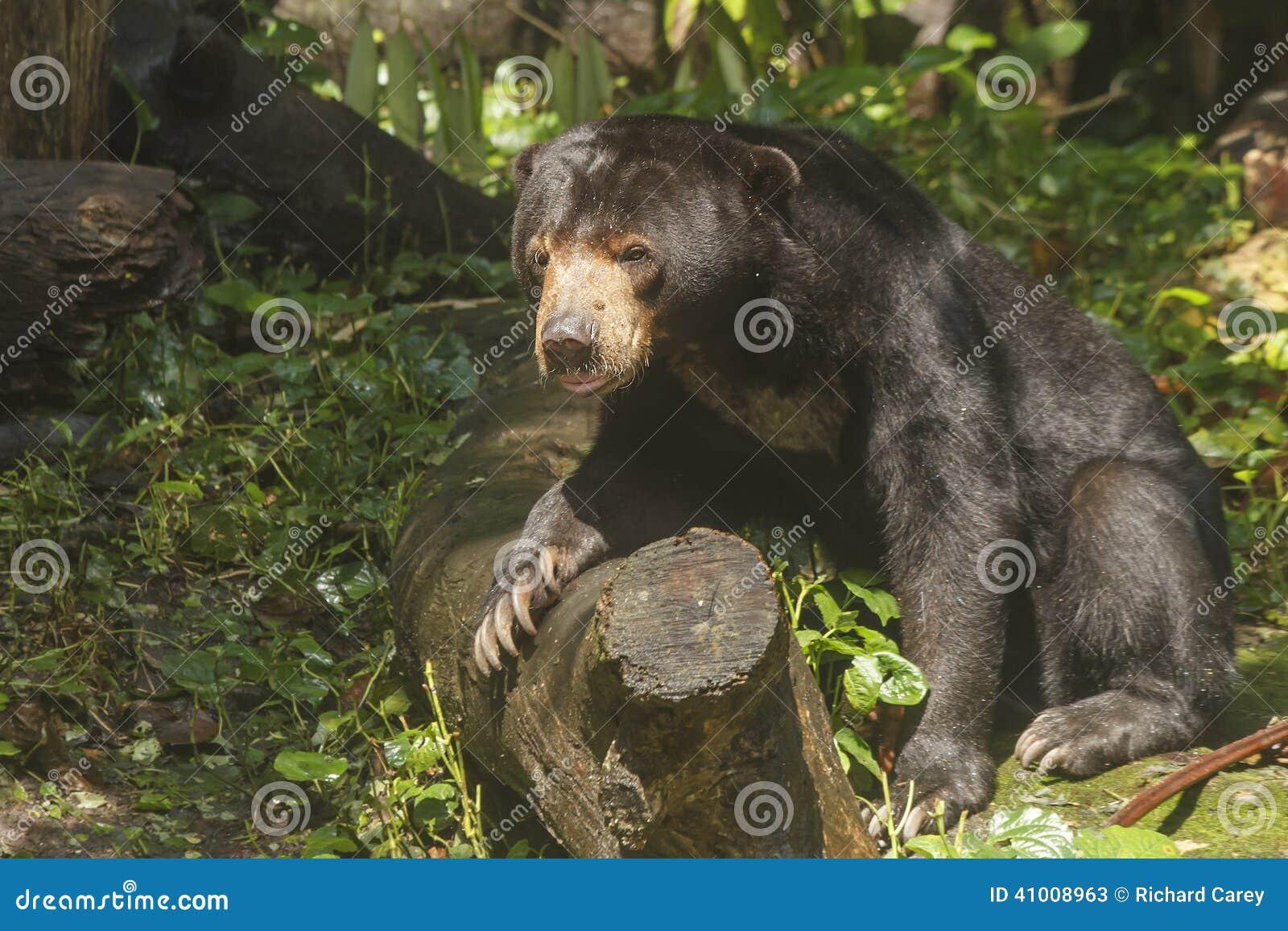 Sun Bear Stock Photo - Image: 41008963