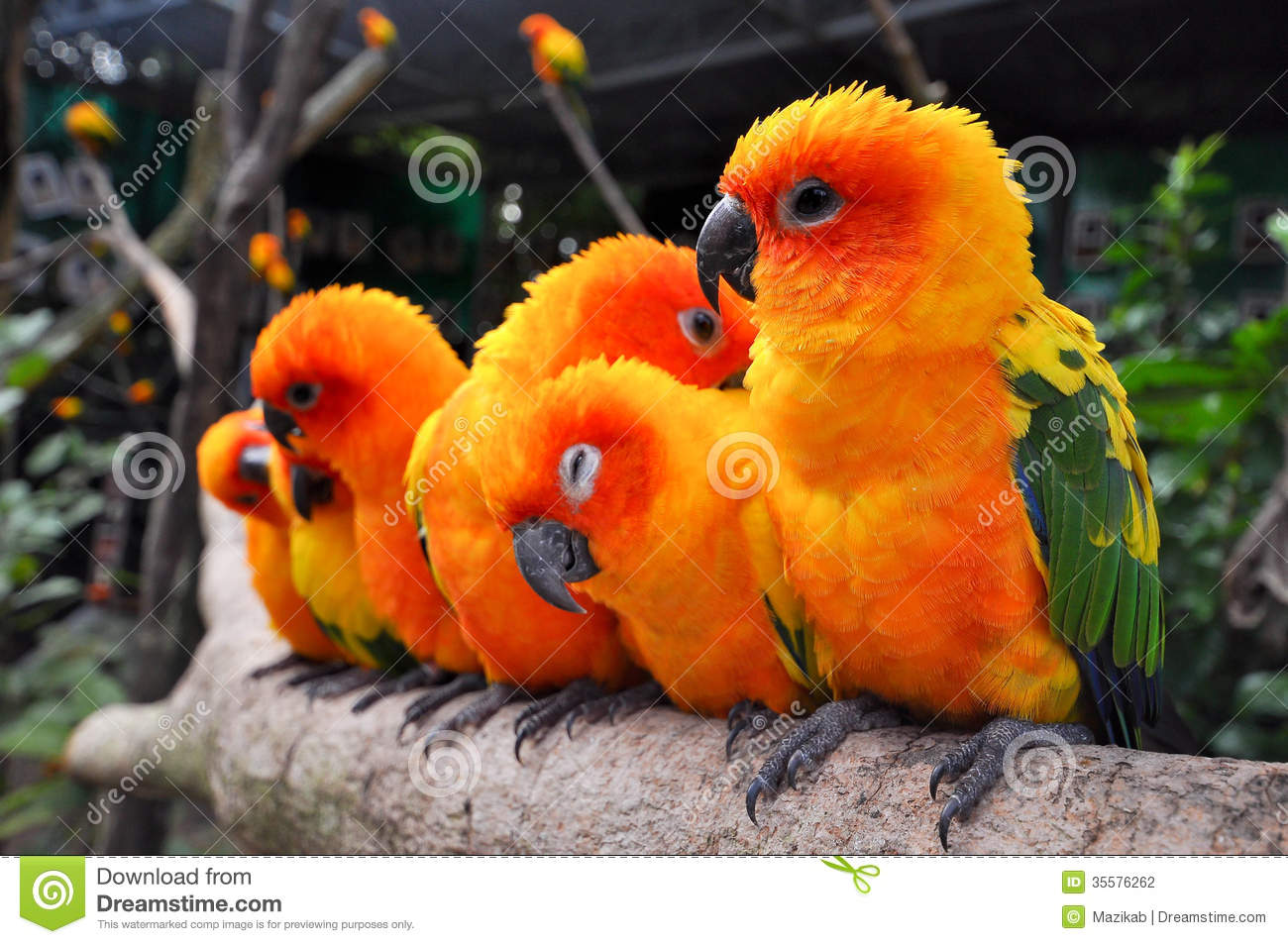 The Sun Parakeet or Sun Conure is a medium-sized brightly colored ...