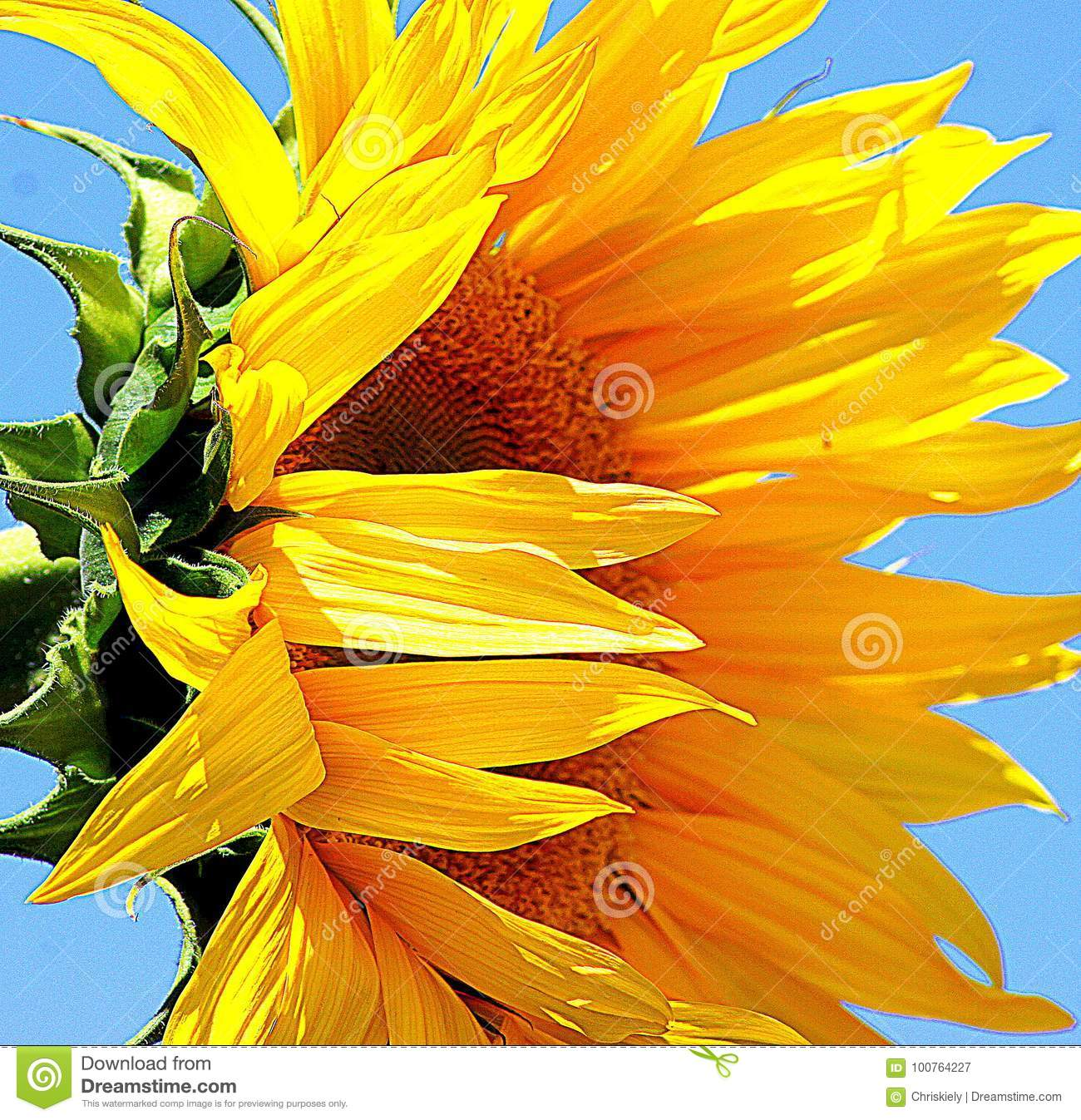 Sun Flower Stock Image Image Of Colored Height Branched 100764227
