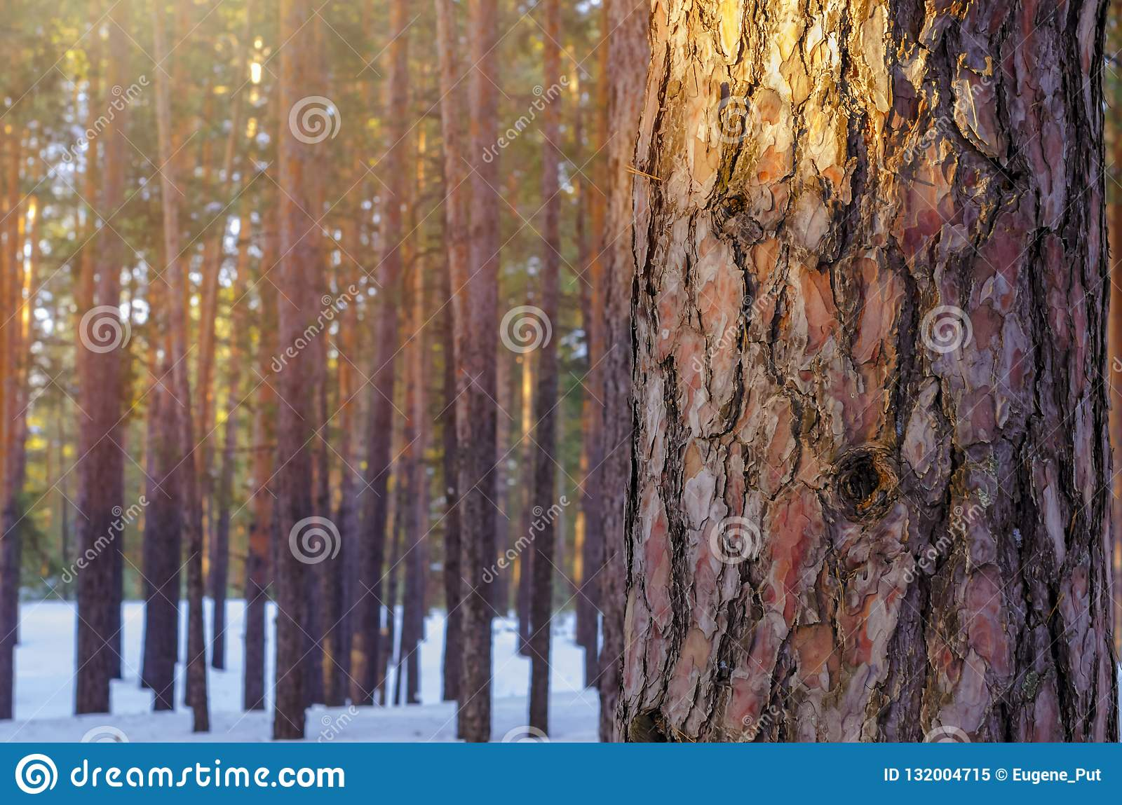 Sun Glow In Snowy Winter Forest. Pine Tree Trunk Closeup