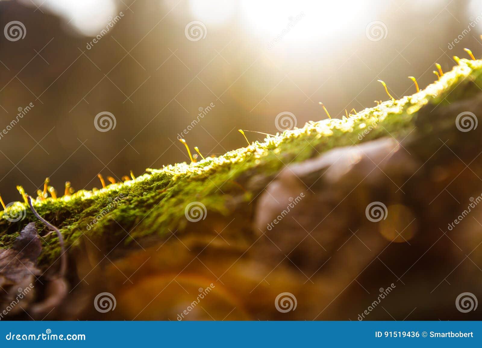 Sun irradia no musgo verde na perspectiva da floresta, efeito da luz instantâneo