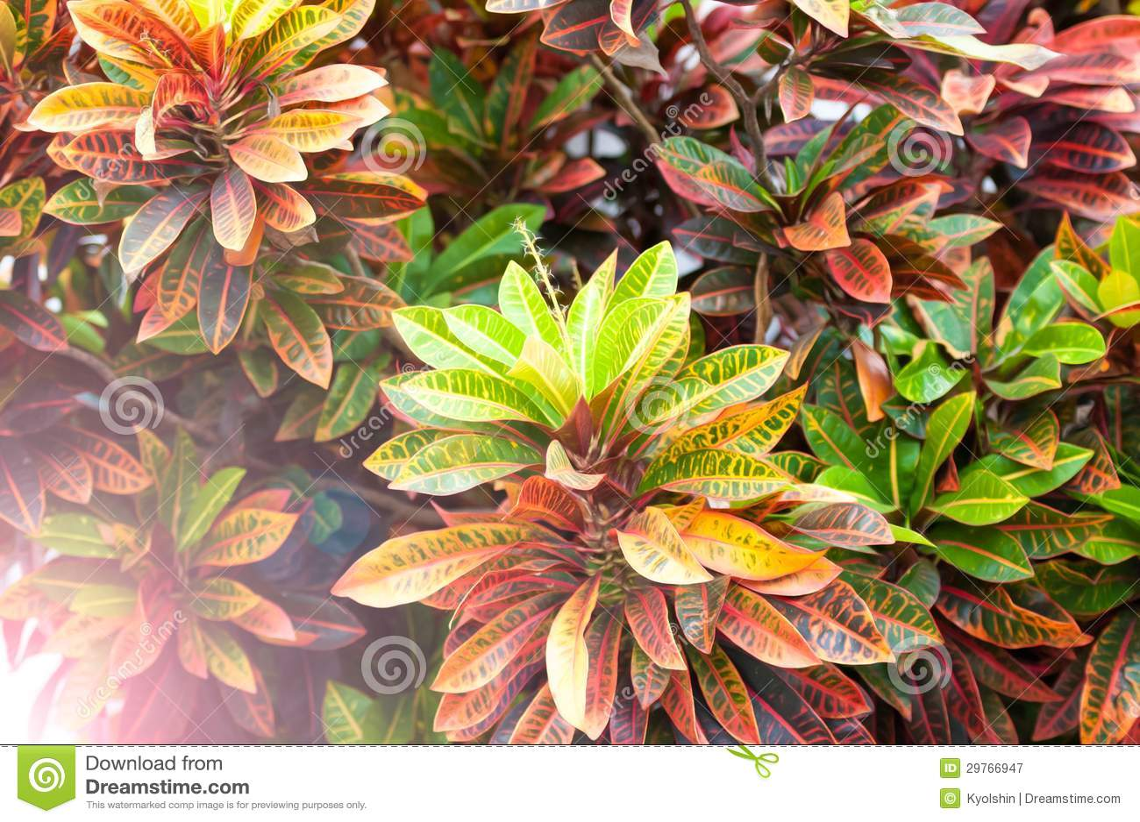 Planta hermosa con las hojas de diversos colores - Plantas de hojas verdes ...