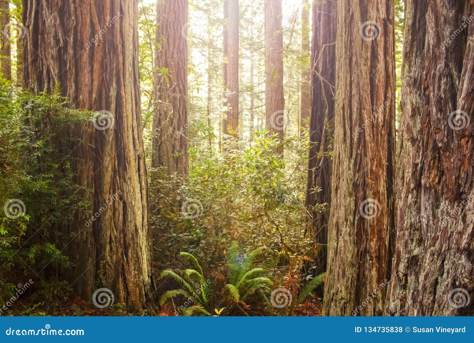 Sun que shinning através do dossel em uma floresta antiga da sequoia vermelha com os troncos das árvores e das samambaias - alarg