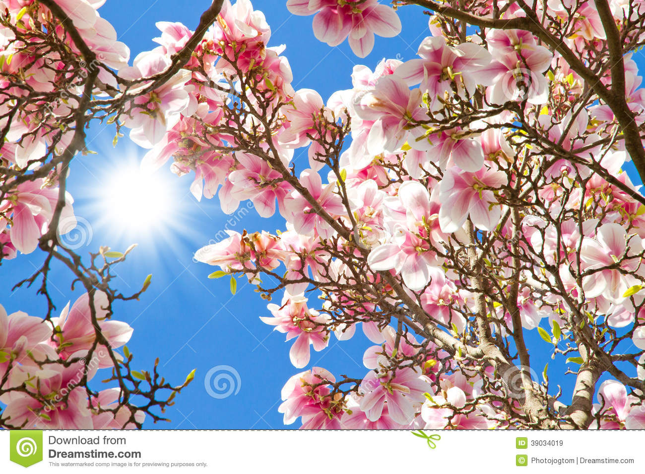 Sun Rays On A Magnolia Tree Stock Image Image Of Blooming