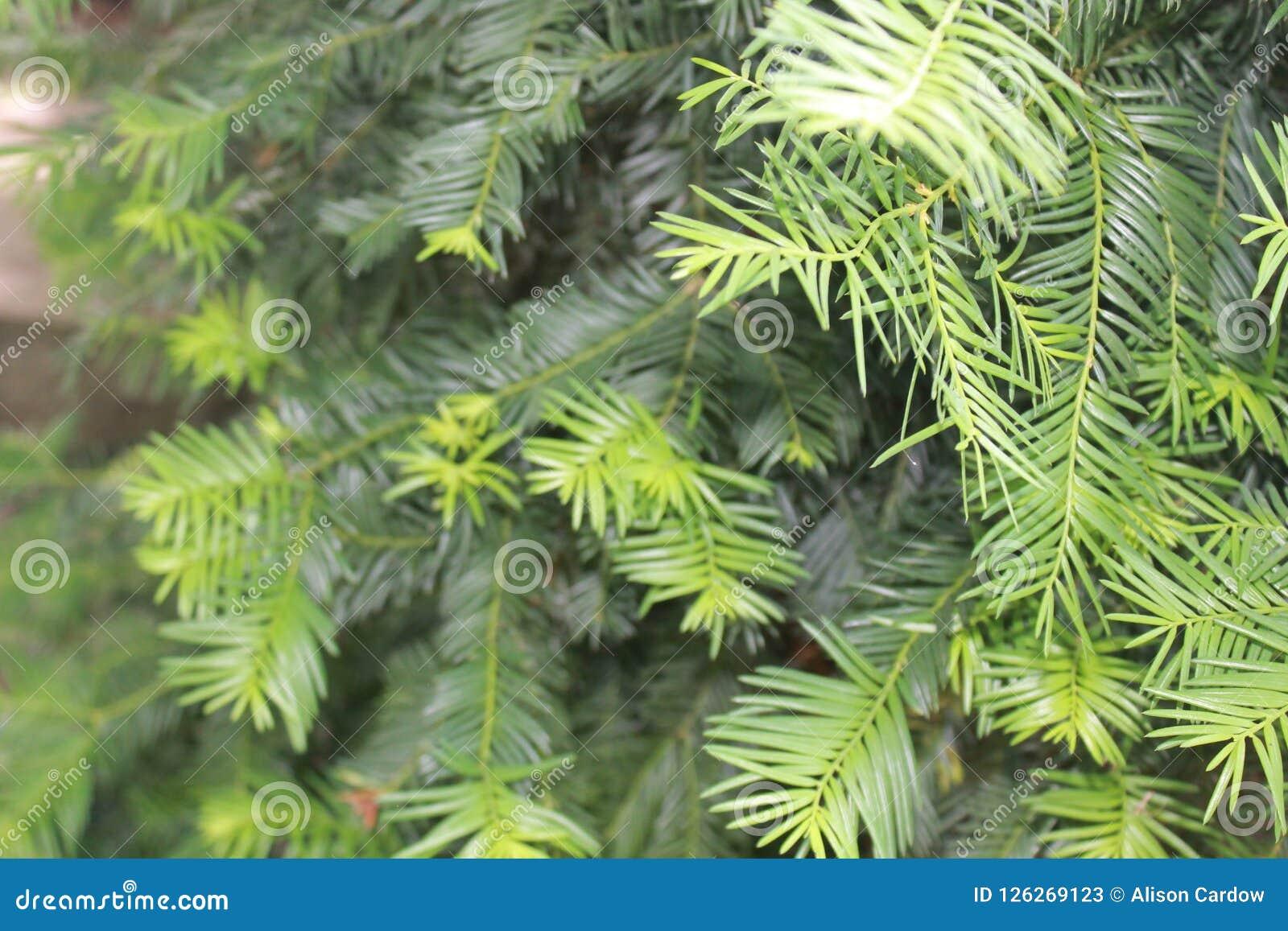 Sun refleja un momento en árbol de hoja perenne precioso de los tis