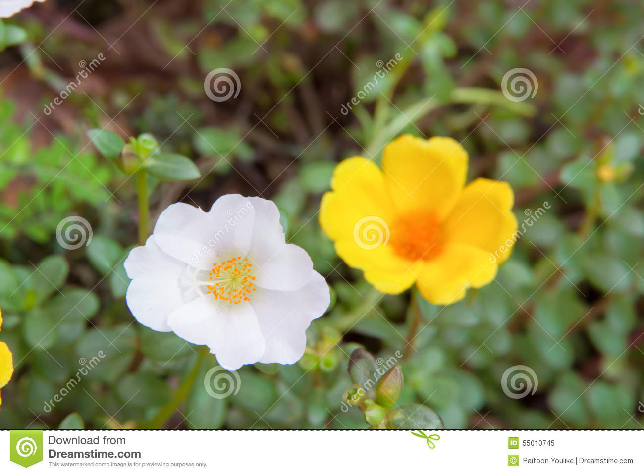 Sun Rose Flower White And Yellow Color Stock Image Image Of