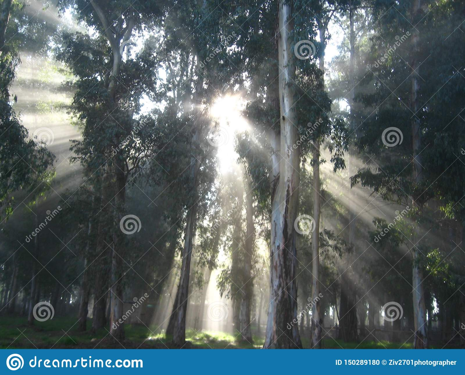 The sun`s rays in the sunrise in the fog, in a mysterious forest
