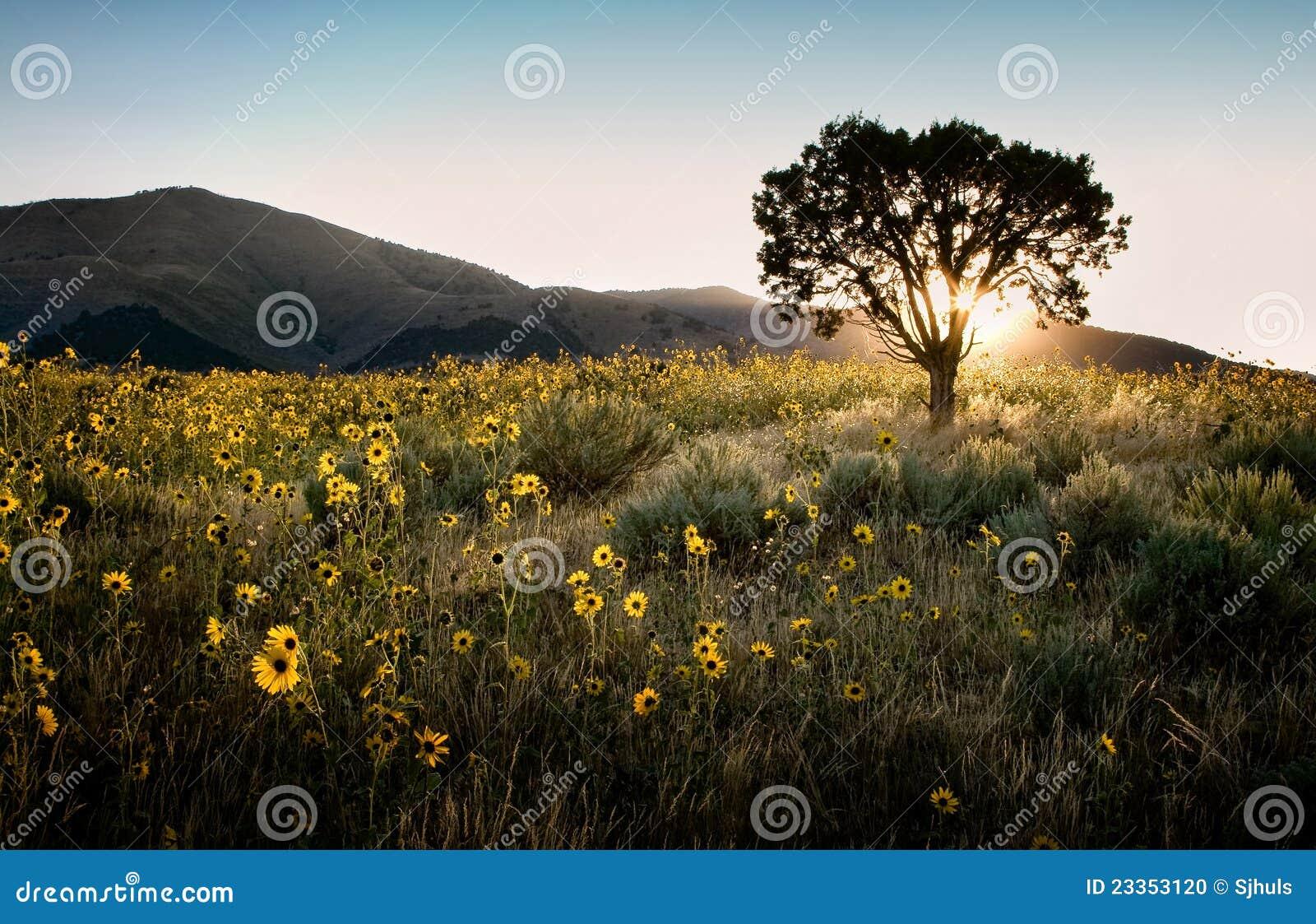 Sun shining through a juniper tree with sunflowers