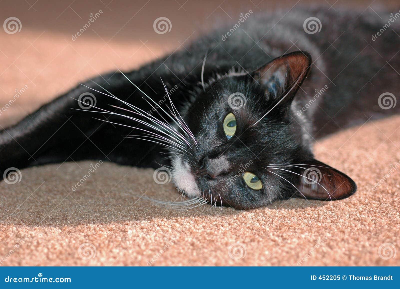 Sunbathing House Cat