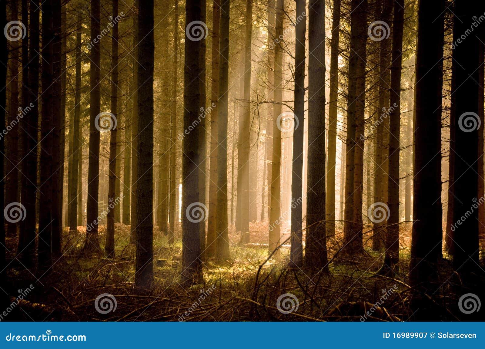 Sunbeams mornos através de uma floresta