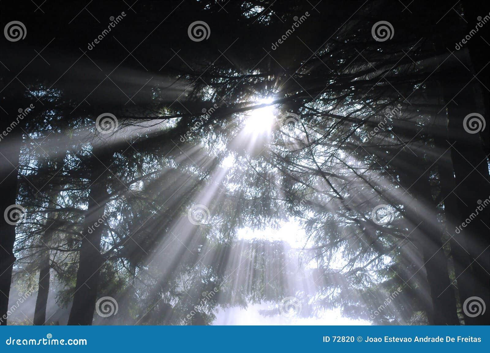 Sunbeams na floresta