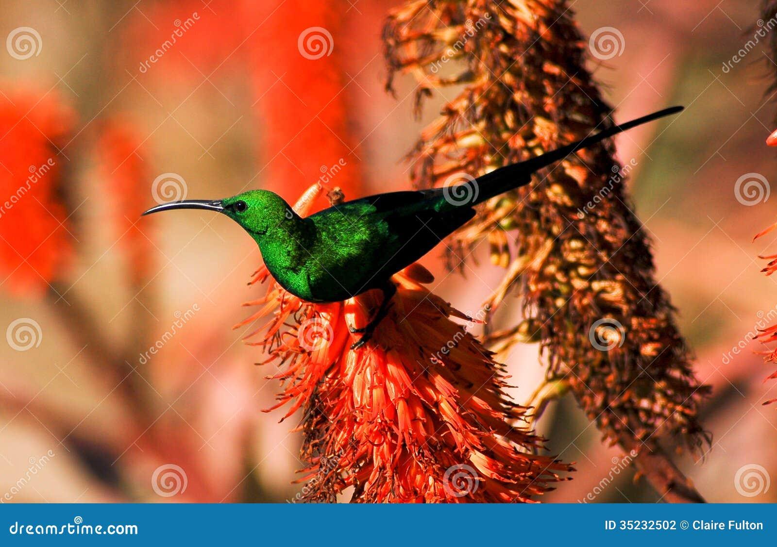 Sunbird de malachite