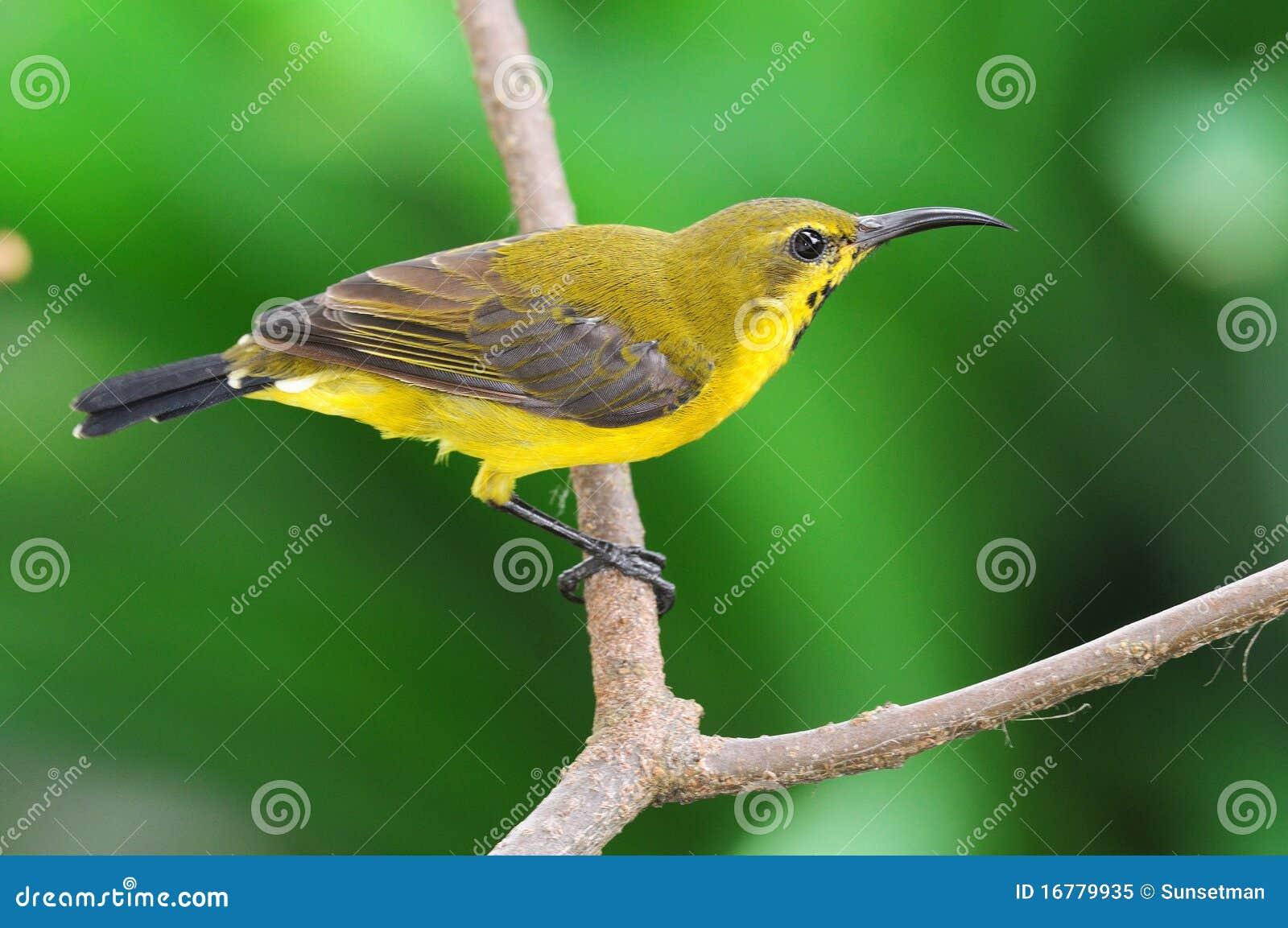 Sunbird em uma vara