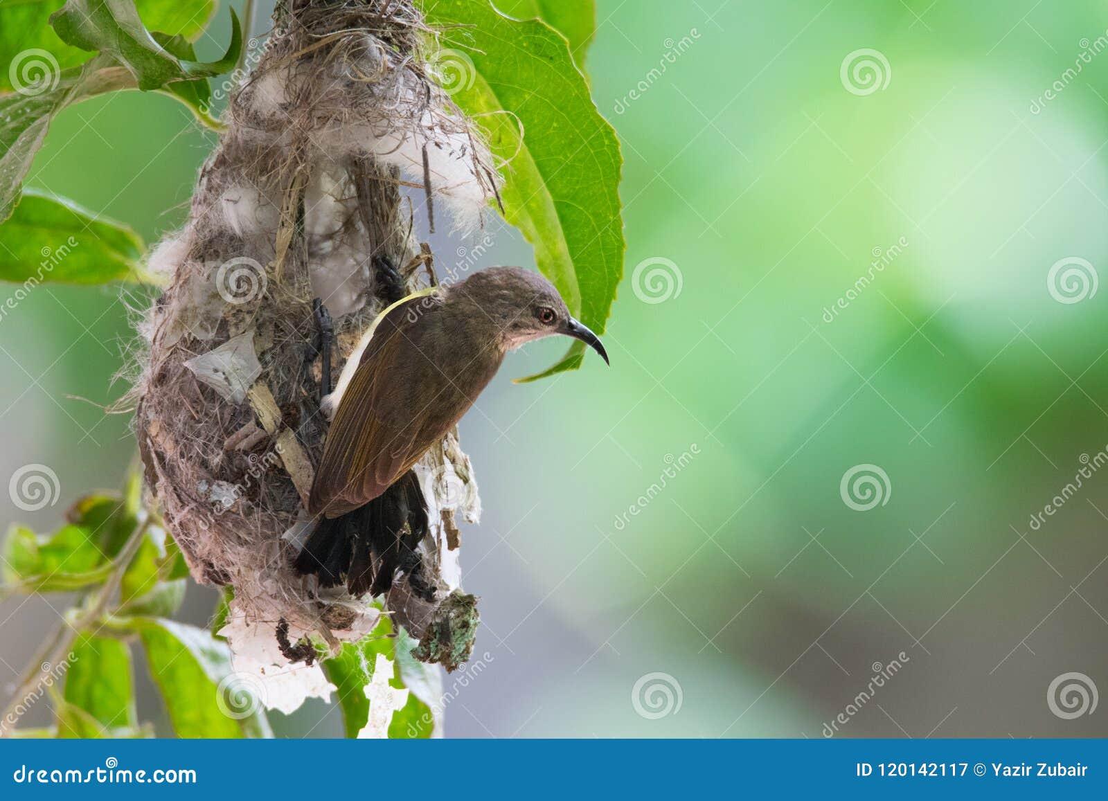 Sunbird in a nest