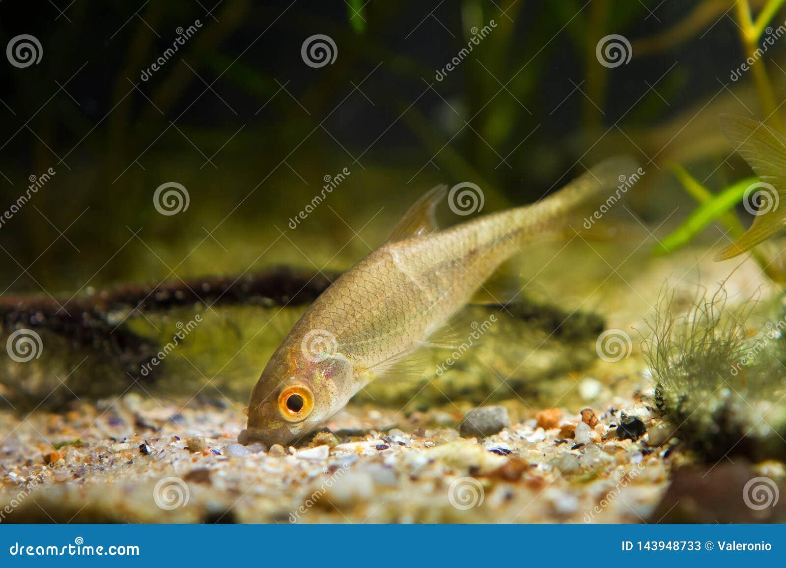 Sunbleak moderado dos peixes de água doce, delineatus de Leucaspius, buscas para o alimento na parte inferior da areia no aquário