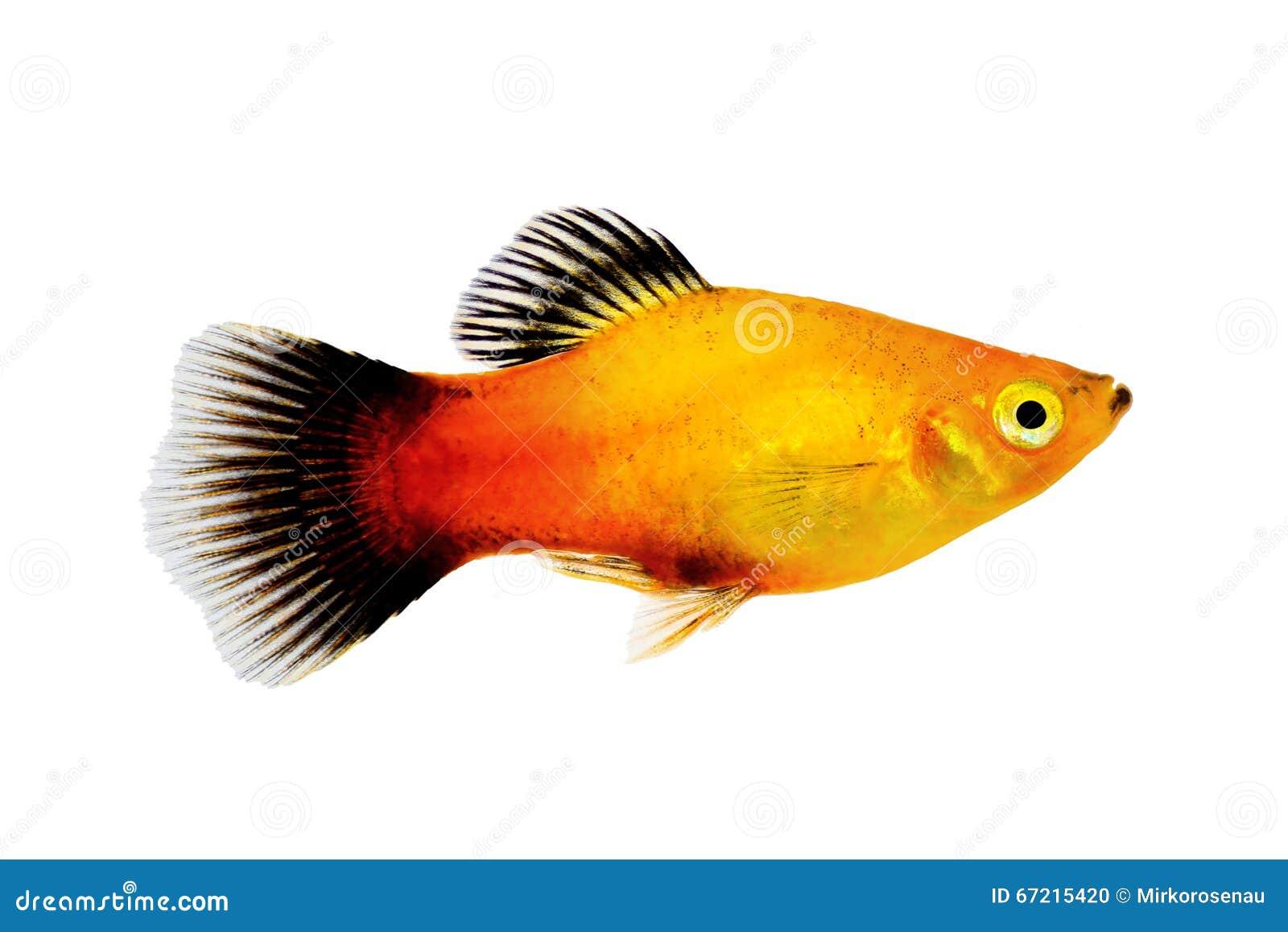 Sunburst platy samiec Xiphophorus maculatus akwarium tropikalna ryba