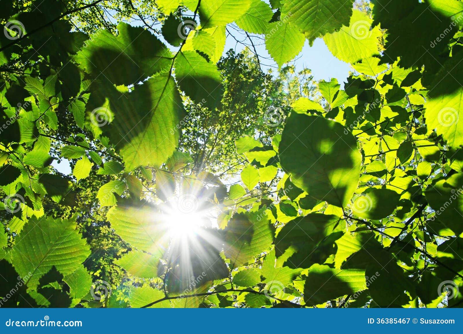 Sunburst till och med gröna bokträdsidor