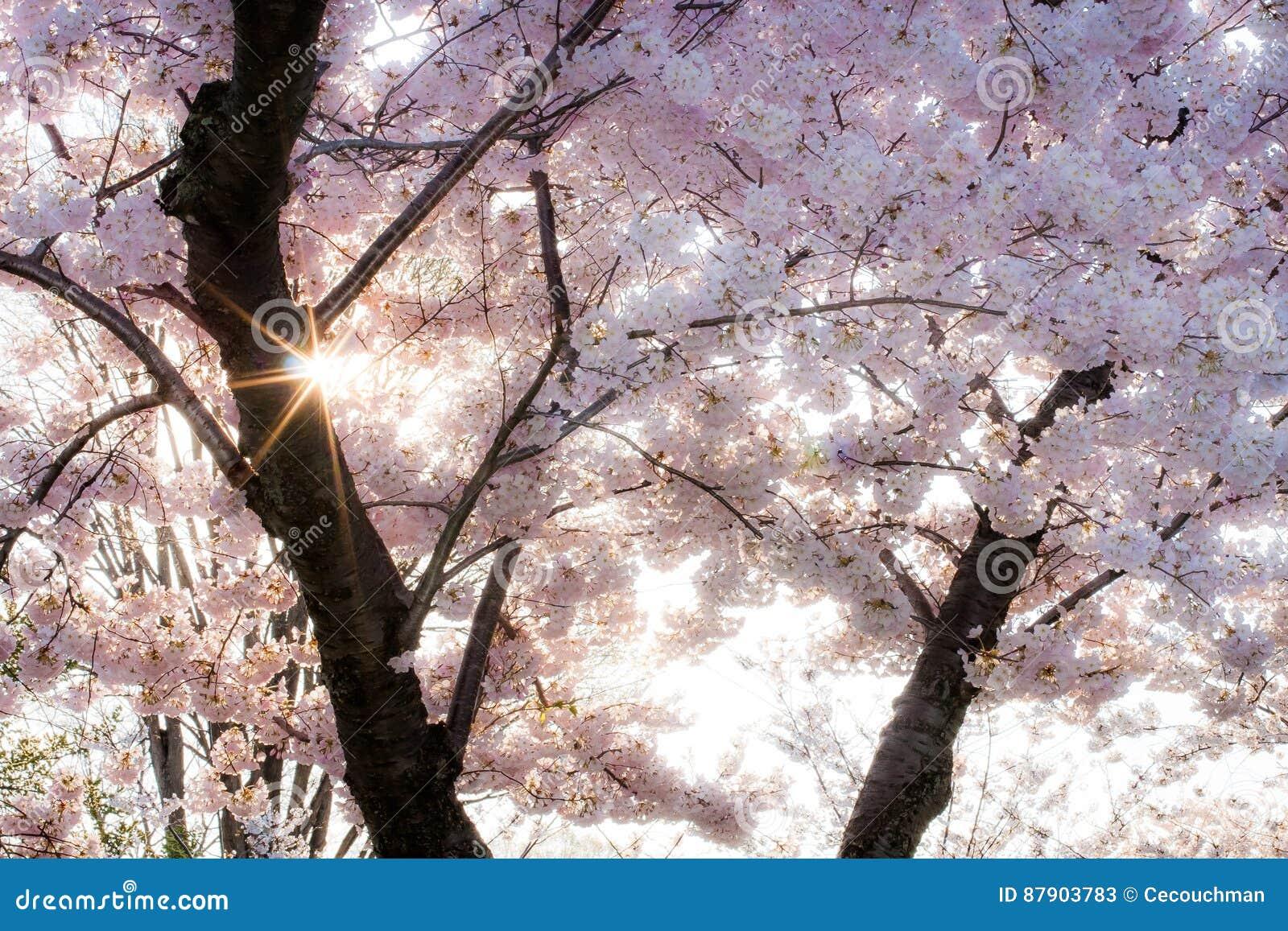 Sunburst till och med mjuka rosa Cherry Blossoms
