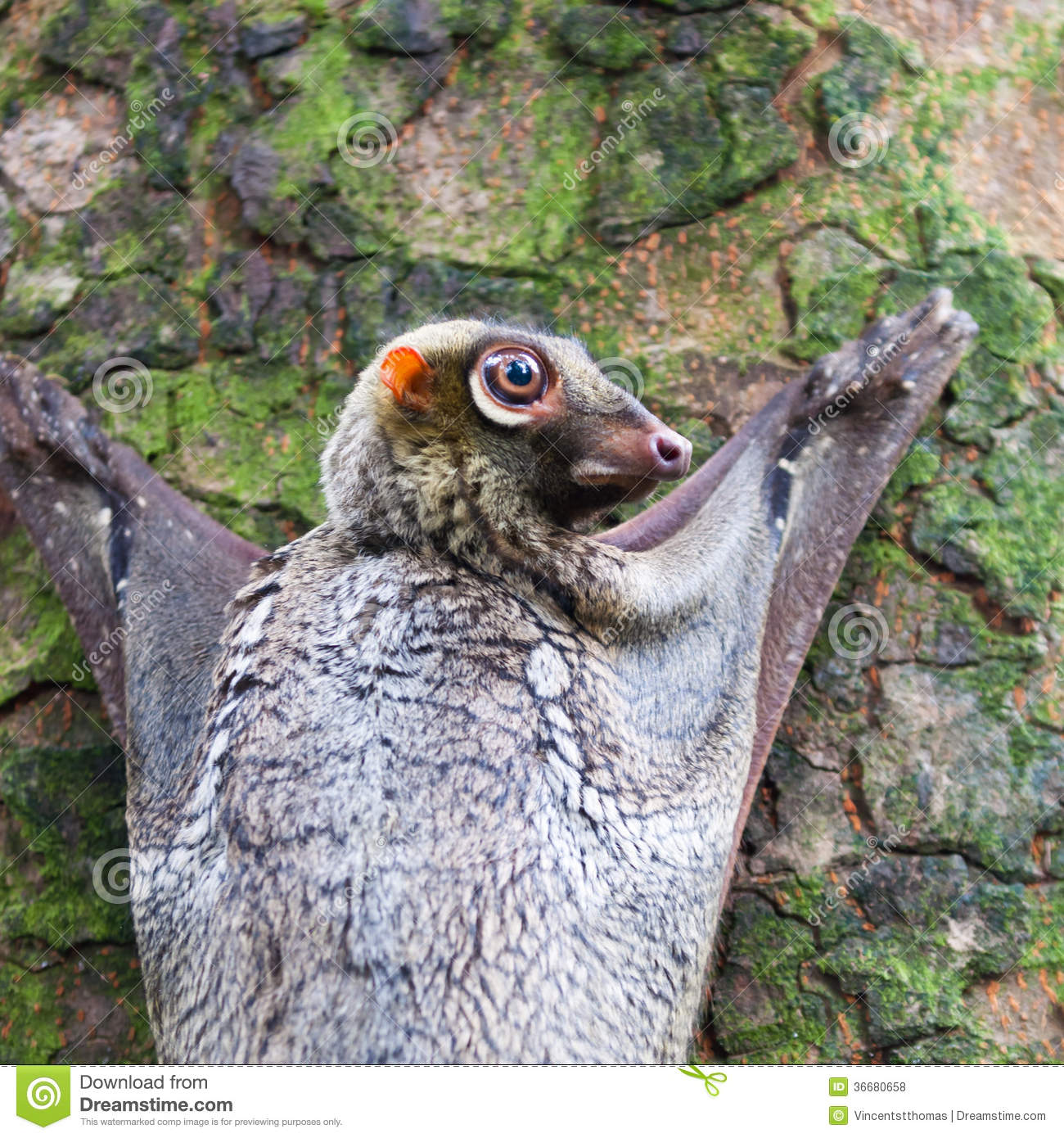 Sunda flying lemur (Galeopterus variegatus) clings to a tree in the ...