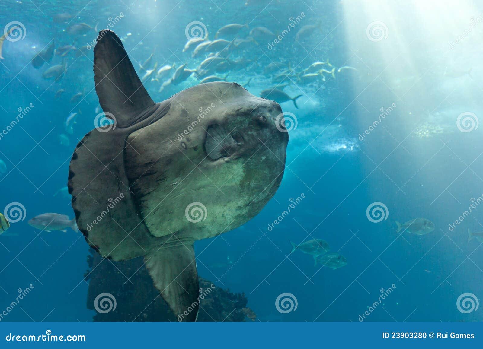Sunfish d océan (mola de Mola)