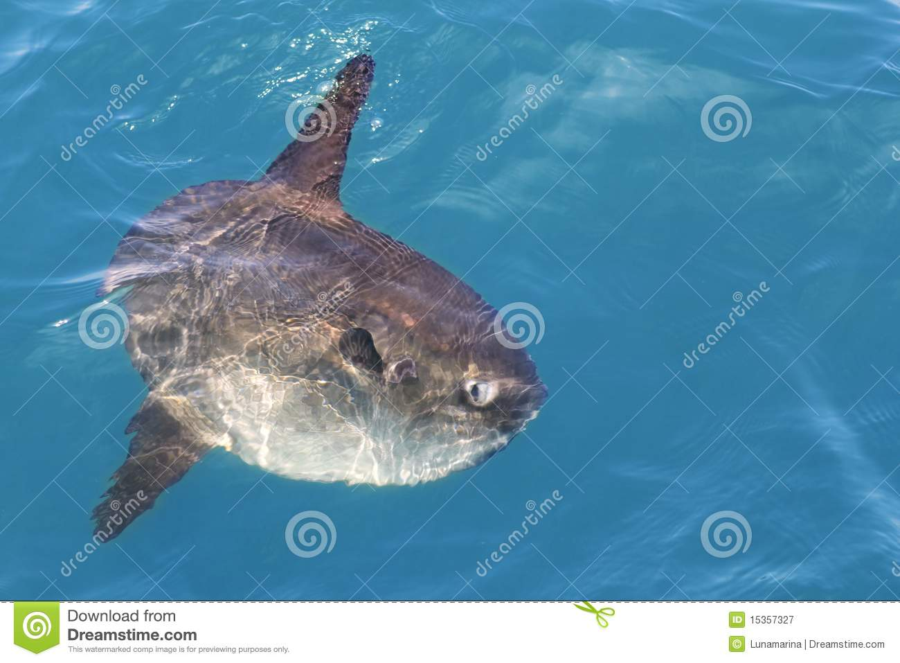 Sunfish In Real Sea Nature Mola Mola Luna Sun Fish Stock