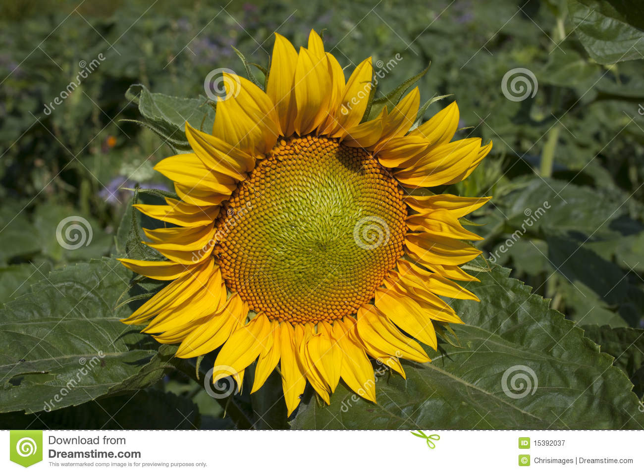 - sunflower-15392037