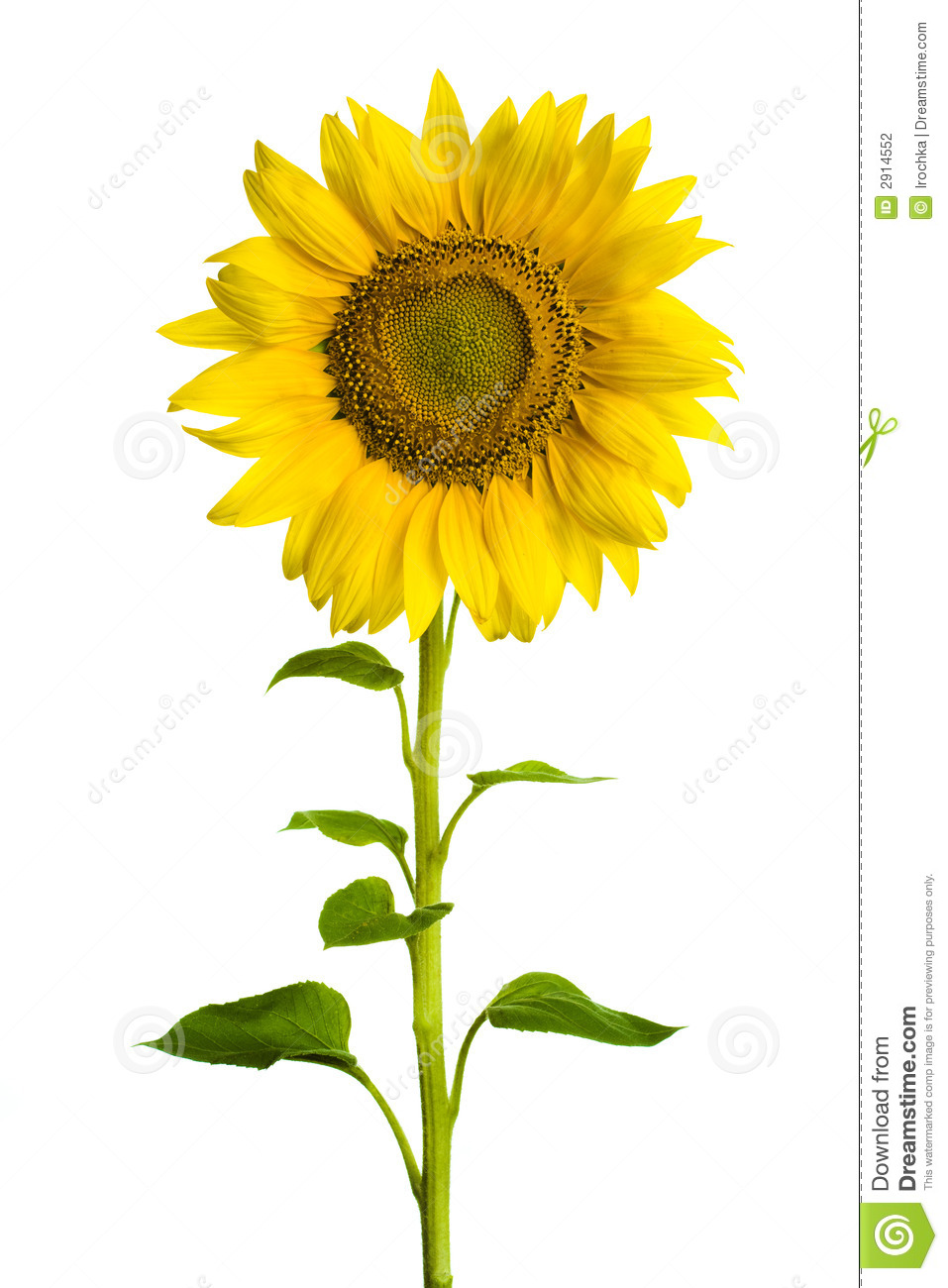 Sunflower Stock Photography - Image: 2914552