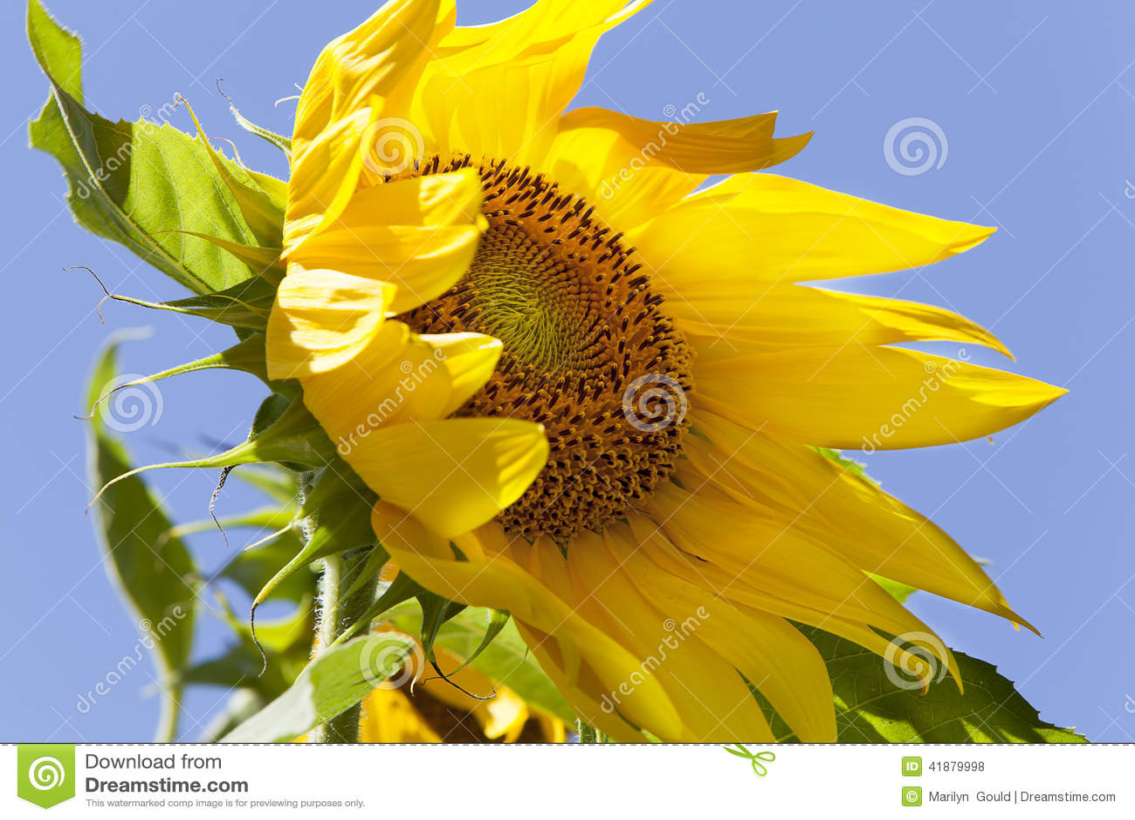 Sunflower Blowing in Wind