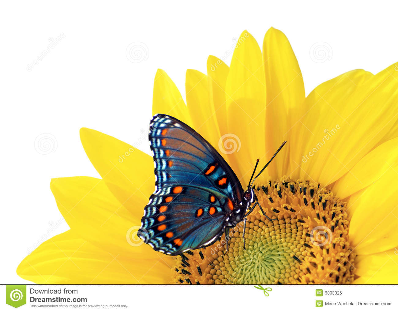 Sunflower And Blue Butterfly Stock Image - Image: 9003025